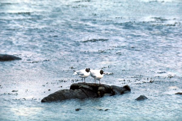Two Black Headed Gulls perch on a rock