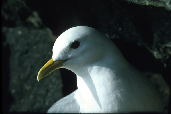 A Kittiwake in close-up
