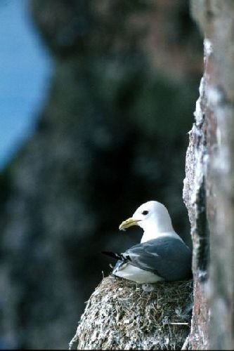 A Kittiwake nests on the edge of a cliff-face
