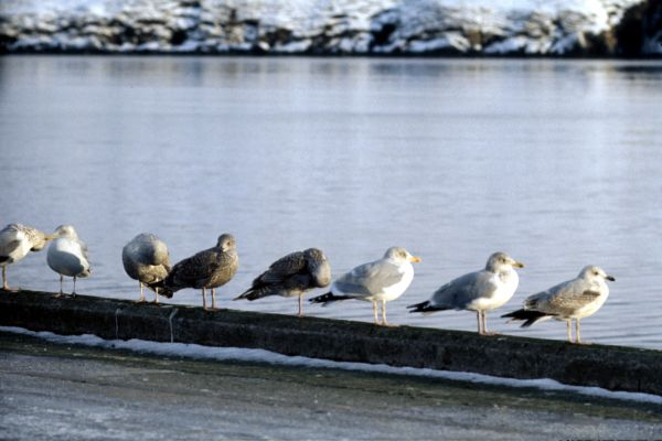 A group of Herring Gulls on Midyell Pier