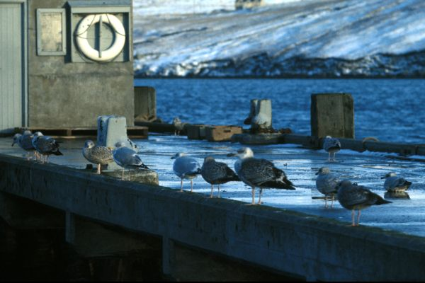 Mostly Juvenile Herring Gulls on Midyell Pier