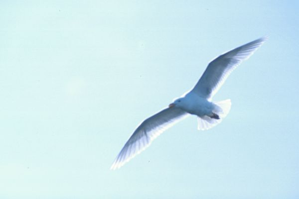 A Glaucous Gull in flight