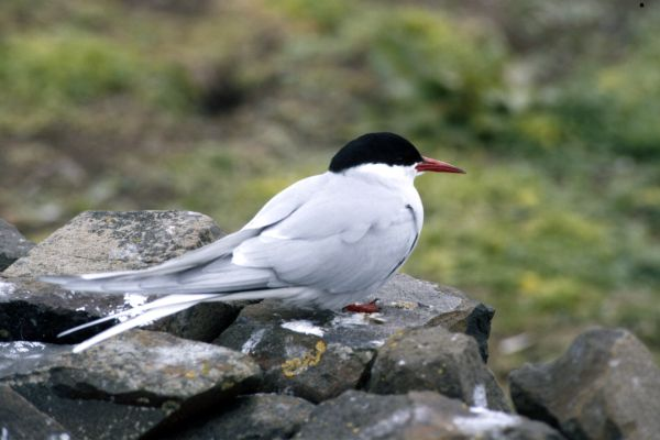 An Arctic Tern on an old stone wall