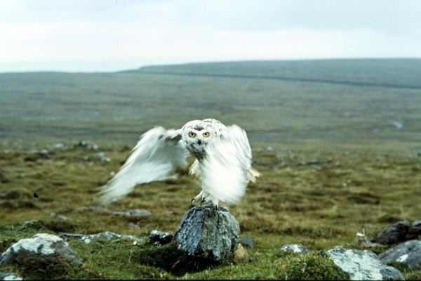 Snowy Owl taking flight