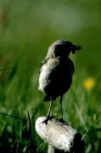 A Wheatear perches with it's beak full