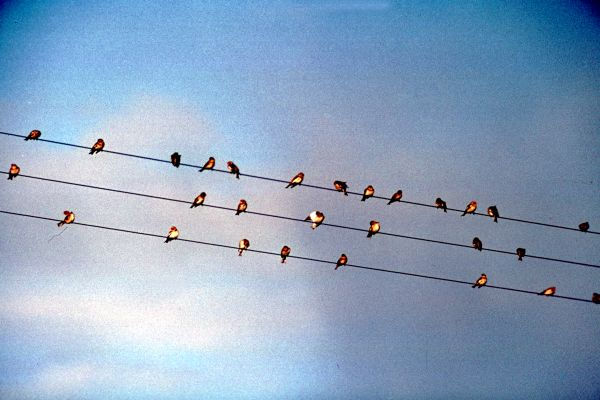 A flock of Snow Buntings on power lines