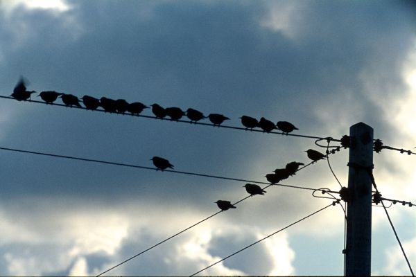 Starlings on power lines