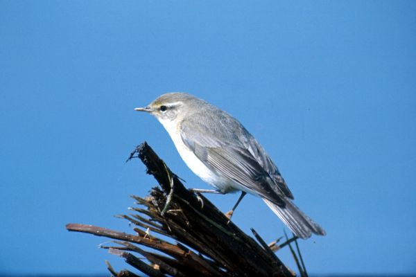 A Willow Warbler against a blue sky