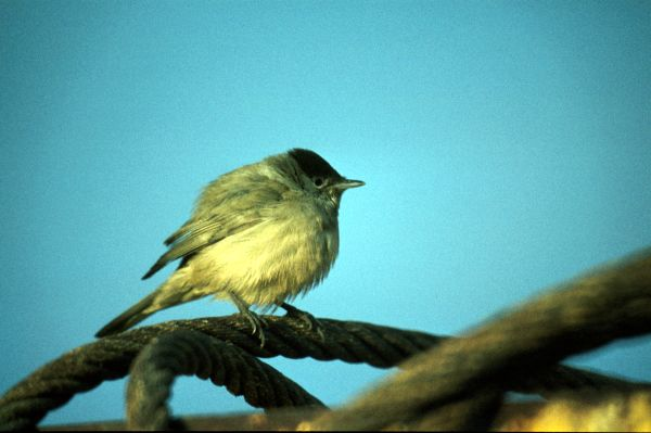 A Blackcap perched on a cable