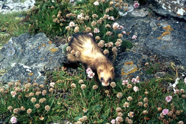 A Ferret hunts near the shore.