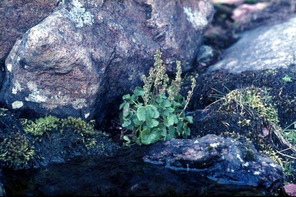 Mountain Sorrel grows by a small pool