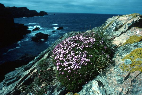 Moss Campion growing by a cliff