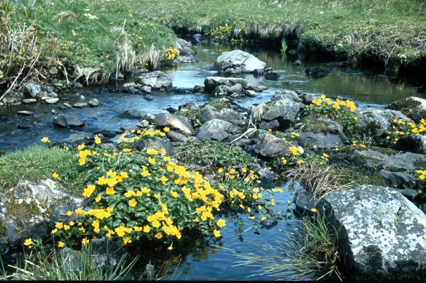 Marsh Marigolds growing at the edge of a burn
