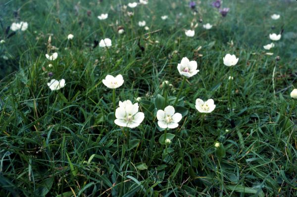 A group of Grass-of-Parnassus flowers